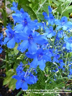 DELPHINIUM 'Delft Blue' (Delphinium, Larkspur) in my garden - Height: 12-15 Inches Tall Spread: 12-18 Inches Wide Color: blue flower Light: Full Sun Hardy to Zone: 3 - Satiny, midnight blue flowers cover a compact mound of lacy leaves. Only grows 12-15 inches high.