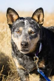 Sassy is an incredibly friendly and loving, 5 year old female Blue Heeler. POP*. I'm a five-year-old seal and white lady Italian Greyhound who loves to cuddle and is a favorite among all the nice folks who come to visit. I am a little shy at first...