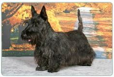 """Scottish Terrier Cutting Board by Canine Designs. $29.95. Size: 8"""" x 11"""". Hygenic and easy to clean.. Heat resistant.. Scratch Resistant - imprinted on back. Made of tempered glass making it virtually unbreakable.. Our beautiful, dog breed cutting boards will enhance any kitchen. They make great gifts, are made of tempered glass and measure 9"""" x 12"""". They are heat resistant, scratch resistant, virtually unbreakable, easily cleaned and dishwasher safe."""