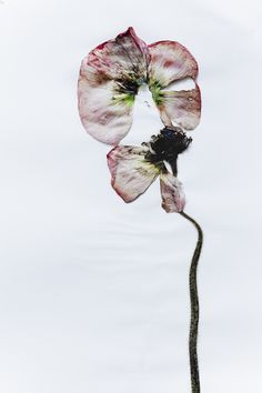 http://iwasshotbybillykidd.com/post/23526031587/deconstructed-poppy-on-paper-was-shot-by-billy
