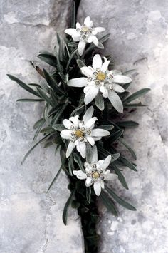 Edelweiss: supposedly made the wearer bulletproof so German soldiers often tucked one into their uniforms. Also perspective suitors picked them for the woman they wished to marry. As a result of edelweiss frequently growing on mountains, many young men fell to their deaths while trying to gather these flowers according to my late Oma.