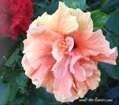 """Unidentified hibiscus.   (""""Resultado de imagem para hibiscus."""")"""
