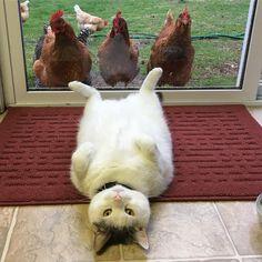 Personne ne comprend pourquoi ce gros matou fascine autant ces poules qui le collent sans cesse... Mais les photos sont vraiment très drôles !