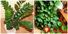 O tomto tipe som už písala asi dva roky dozadu, ale teraz by som vám rada povedala aj o výsledkoch. Ide o výživu a hotový životabudič pre izbovky. Ja používam už dva roky a rastliny sú krásne, ako keby vôbec nemali horšie obdobia (dokonca aj počas horúceho leta a zimy). Väčšinou pestujem zelené rastliny –...