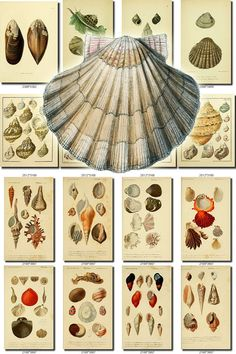 SHELLS-17-b3 Collection of 133 vintage images pictures High