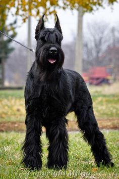 "Explore our site for more details on ""schnauzer dogs"". It is actually an excellent area to learn more. Giant Dogs, Big Dogs, Large Dogs, Cute Dogs, Dogs And Puppies, Doggies, Black Schnauzer, Mini Schnauzer Puppies, Giant Schnauzer"