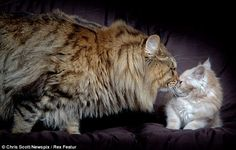 A mighty Maine Coon cat