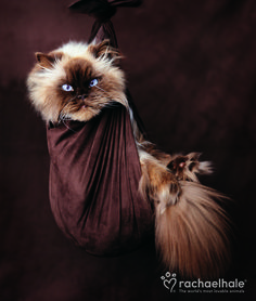 Sapphire (Chocolate Point Persian) - Sapphire makes an appearance… (pic by Rachael Hale)