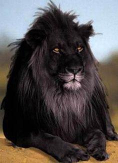 León Negro..... Precioso