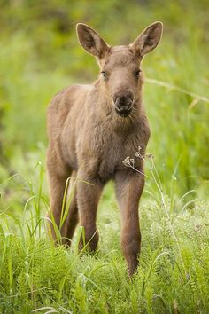 baby moose--- my new favorite! adorable!