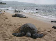 Turtle Beach, or Laniakea Beach, Oahu Hawaii. We saw tons of turtles here! Very worthwhile stop!.