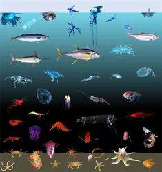 ocean - Bing Images The coloration of oceanic animals, shown as a function of depth. Ocean Zones, Ocean Artwork, Ocean Unit, Camouflage Colors, Cute Disney Drawings, Water Animals, Salt And Water, Fresh Water, Ocean Life