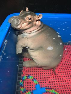 Hippo in a pool
