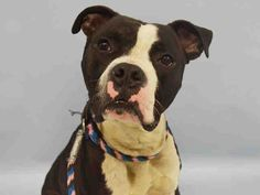 SAFE 10-2-2015 by  Posh Pets Rescue ---  Manhattan Center OOZZIE – A1052158  MALE, BLACK / WHITE, PIT BULL MIX, 1 yr, 6 mos STRAY – ONHOLDHERE, HOLD FOR ID Reason HOME SIZE Intake condition UNSPECIFIE Intake Date 09/20/2015