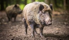 Going on a Boar Hunt? This is what to expect!