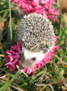 Tranquill Hedgies is a USDA licensed breeder of African Pygmy Hedgehogs in Tuscaloosa AL with transport available nationwide! Pygmy Hedgehog, A Hedgehog, African, Fall, Dogs, Autumn, Fall Season, Pet Dogs, Doggies
