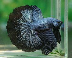 1000 images about betta fish on pinterest betta betta for Black betta fish for sale
