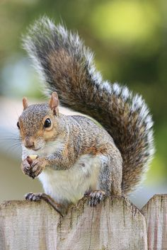 Eastern Gray Squirrel | Flickr – Condivisione di foto!