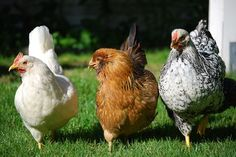 Why Raise Chickens In Your Backyard? The Many Reasons & Benefits - BackYard Chickens Community