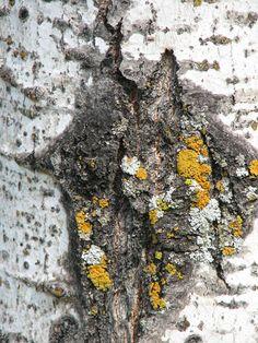 Tree Bark LichensTexture