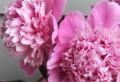 Photos of flowers - Floral photography - Floral creations - Peonies.jpg
