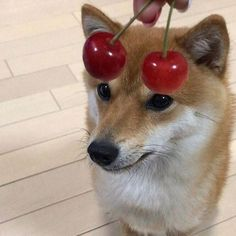 Find images and videos about cute, aesthetic and lol on We Heart It - the app to get lost in what you love. Animals And Pets, Baby Animals, Cute Animals, Can Dogs Eat, I Love Dogs, Shiba Inu, Cute Creatures, Beautiful Creatures, Cat Dog