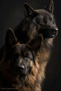 GSDs...don't worry, we got your back.