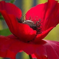 The Beauty of Flowers My Flower, Beautiful Flowers, Macro Fotografie, Arte Floral, Gras, Red Poppies, Mother Nature, Pansies, Planting Flowers