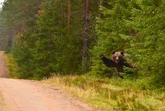 Morjestava karhu - Bear says hi to cars - Finland Animal Games, My Animal, Animals And Pets, Cute Animals, Call Of The Wild, Animal Crossing Game, New Leaf, Nature Photos, Lions