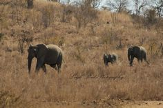 Two youngsters following mum through the reserve Elephant Family, Kruger National Park, African Elephant, Lonely Planet, Elephants, North West, Travel Guide, South Africa, Wildlife