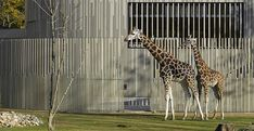 Dresden Zoo, Zebra and Giraffe Facility | Heinle, Wischer und Partner | Dresda (Germany)
