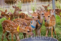 Fawns from Wildlife Rescue and Rehab in Kendalia, Texas
