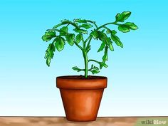 Image titled Grow Tomatoes Upside Down Step 2 Types Of Tomatoes, Varieties Of Tomatoes, Growing Tomato Plants, Growing Tomatoes In Containers, Baby Tomatoes, Green Tomatoes, Cherry Tomatoes, Culture Tomate, Tomatoes Image