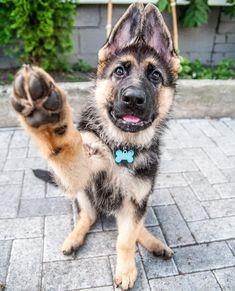 GSD Puppy-Novvi