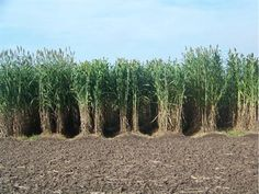 Sweet Sorghum allow the production of sugar stalks for ethanol. Nevertheless sustainability assessments in many studies report a better performance of fiber sorghums for electricity. Companies in marginal areas of sugarcane consider sorghum for worse soils to feed boilers and complement bagasse in the electricity production on their plants.