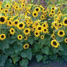 Sunflower-Waooh