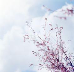 Sakura blossoms | Jun Imajo