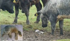 Poor baby...with luck! - Seal pup surrounded by a herd of cows after getting stranded in mud