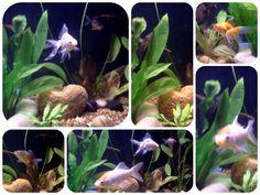 My goldfish tank