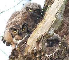 Owls by Lois Settlemeyer at the Ridgefield National Wildlife Refuge in Washington. Owl Family, Wise Owl, Birds Of Prey, Interesting Faces, Besties, Wildlife, Survival, Creatures, Animals