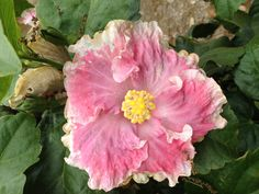 Hibiscus Hibiscus Flowers, Orchids, Beautiful Flowers, Natural Beauty, Seeds, Tropical, Names, Gardening, Rose