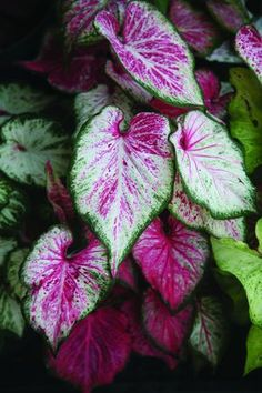 'Blushing Bride' caladium - incredibly variable leaves blush more as it matures! Quite decorative in the shade garden; 8 - Dig & store dry tubers indoors, or annual. Garden Trees, Garden Plants, House Plants, Tropical Garden, Tropical Plants, Love Flowers, Beautiful Flowers, Elephant Ear Plant, Elephant Ears