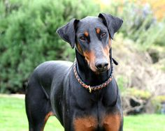 The Doberman Pinscher is a medium-large breed of domestic dog originally developed around 1890 in Germany. They are well known as an intelligent, alert, and tenaciously loyal companion and guard dog. Personality varies a great deal between each Doberman, but if taken care of and trained properly they tend to be loving and devoted companions.