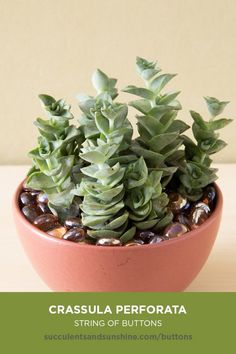 succulent garden care Crassula perforata String of Buttons succulent care and propagation information