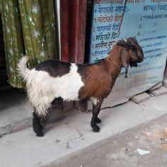 #山羊 #goat #kathmandu #ヤギ