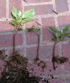 Rooting Hardy Kiwis - Walden Effect