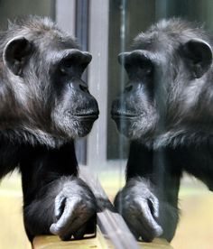 A chimp looks at itself reflected in glass at Dvur Kralove zoo in Dvur Kralove, Czech Republic on October 13, 2015. (Photo by Slavek Ruta/Rex Shutterstock)