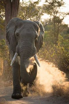 African Elephant | undeniable beauty  #elephants  Visit our page here: http://what-do-animals-eat.com/elephants/