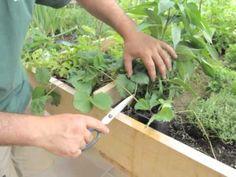 Cómo reproducir las plantas de fresa