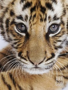 Tiger Cub Photographic Print by Martin Harvey at Art.com